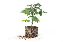 Seedlings Of Tomato Plants