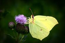 Common Brimstone ButterflyÔøΩ(GonepteryxÔøΩrhamni)ÔøΩperching On Plant