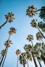 Tall Palm Trees At Park Against Clear Blue Sky