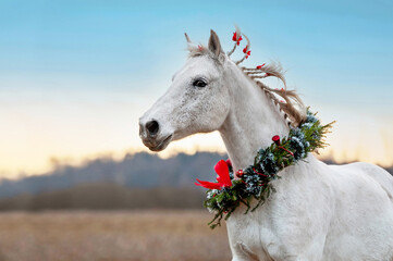 White horse with Christmas wreath around the neck running on the field in winter