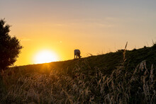 Sun Setting Over Lone Grazing Cow