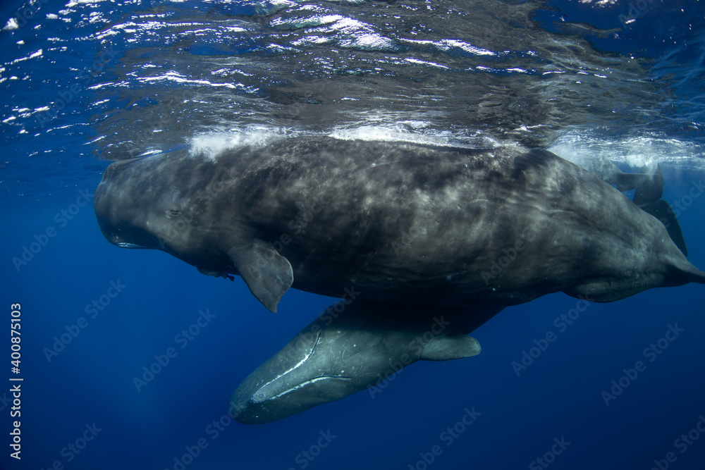 Fototapeta Sperm whale near the surface. Group of whales. Snorkeling with the whales. Marine life in Indian ocean.