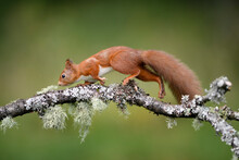 Close-up Of Squirrel Walking On Branch