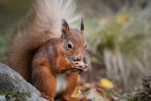 Close-up Of Red Squirrel Eating Nut By Rock