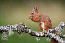 Close-up Of Squirrel Eating While Standing On Branch
