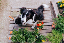 Border Collie Sitting By Plants On Wood In Vegetable Garden