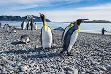 UK, South Georgia And South Sandwich Islands, King Penguin(Aptenodytespatagonicus)colony On Salisbury Plain