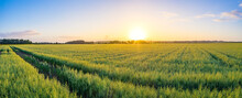 Panorama Of Vast Green Oat (Avena Sativa) field At Summer Sunset