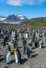 UK, South Georgia And South Sandwich Islands, King Penguin (Aptenodytes Patagonicus) Colony On Salisbury Plain