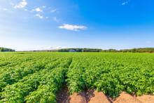Potatoes (Solanum Tuberosum) Growing In Vast Summer Field