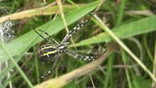 Wasp Spider Argiope Bruennichi Female. Underside