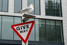 Seagull On A Give Way Traffic Sign In From Of A Modern Office Building In City. Constrast Between Technology And Animal Nature
