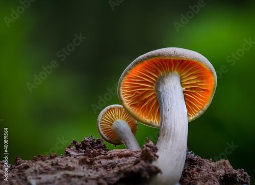 Fototapeta Small fungi in the forest obraz