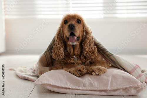 Fotografering Cute English cocker spaniel dog with plaid and pillow on floor