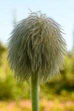 Fuzzy Petals Of Western Seedhead