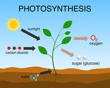 Vector Illustration Of The Photosynthesis Process.