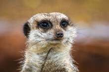 Head Shot Of A Cute Meerkat (Suricata Suricatta) With A Brown Background.