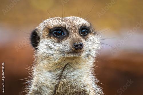 Obraz na płótnie Head shot of a cute meerkat (Suricata suricatta) with a brown background