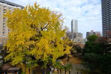 Autumn Golden Tree Of Ginkgo