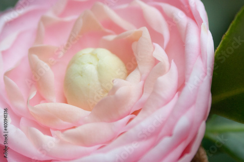 Fototapeta the pink of flower Camellia Debutante japonica