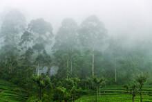 Excellent Manicured Ceylon Tea