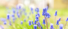 Spring Banner Of Beautiful Grape Hyacinths. Muscari Flowers In Spring Garden. Landscape Panorama, Copy Space