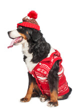 Large Dog Of Breed Bernese Mountain Dog In A Red Knitted Hat And Red Vest. Isolated On White Background