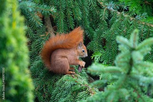 Eichhörnchen sitzt im Tannenbaum und knappert am Tannenzapfen Fototapet