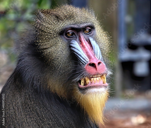 Papel de parede Close up of a colorful male mandrill bearing his brown stained teeth