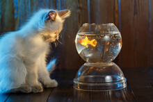 Сute Kitten Looks At A Fish In An Aquarium. Cat Catches Fish.