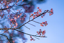 A Wild Himalayan Cherry Flower That Blooms From December To January At Phu Lom Lo, Loei, Thailand