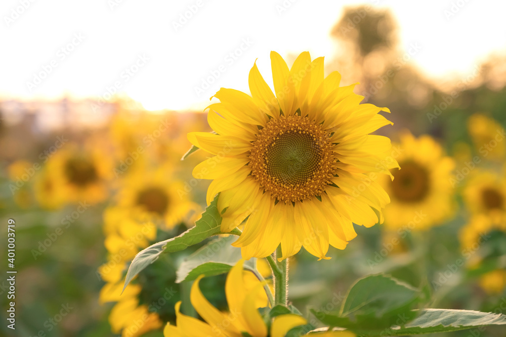 blooming sunflower at agriculture farm in the morning sunrise.