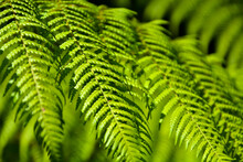 Green Fern Leaf, Flowerless Green Concept. Abstract Forest Background.  Image Of A Green Leaf In The Forest. Leptosporangiate. Selective Focus.