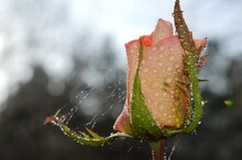 A Spider Web On A Rose Bud And Raindrops