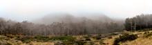 Thick Grove Of Eucalyptus With Coastal Fog