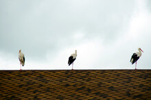 Three Storks Stand On One Leg On The Tiled Roof Of The House.