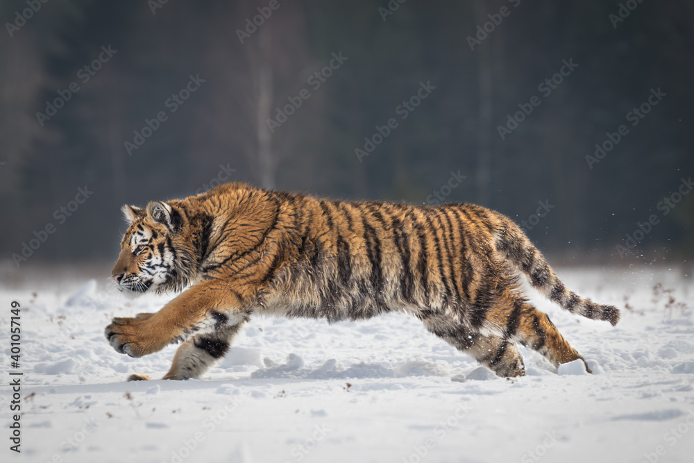 Fototapeta Beautiful and majestic young Siberian Tiger in its typical natural environment, endless snow covered meadows, birch trees and forest. Dangerous yet also endangered animal. Save our planet.