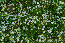 Wild Flowers Of Meadow Chamomile On A Green Background On A Sunny Day In The Garden.