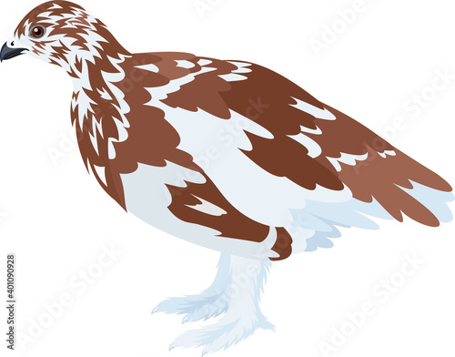 Canvas Print vector arctic partridge willow ptarmigan