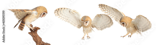 Photographie Collage with photos of beautiful barn owl on white background