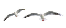 Two Seagulls Flying Isolated On White Background