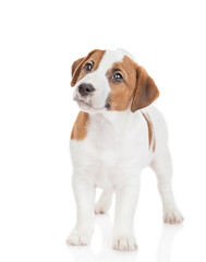 Jack russell terrier puppy stands in front view and looks away and up. Isolated on white background