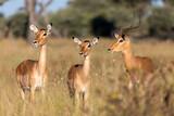 Fototapeta Sawanna - Impala antelope male and two females (Aepyceros melampus) Caprivi strip game park, Bwabwata Namibia, Africa safari wildlife and wilderness