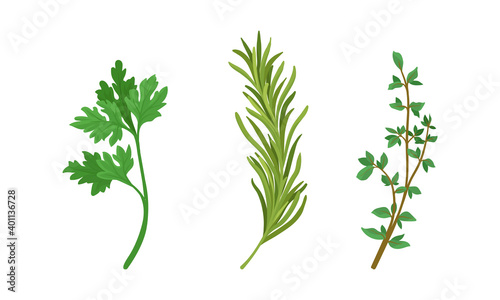 Fototapeta Aromatic Herbs with Parsley and Rosemary for Flavoring and Garnishing Food Vector Set obraz