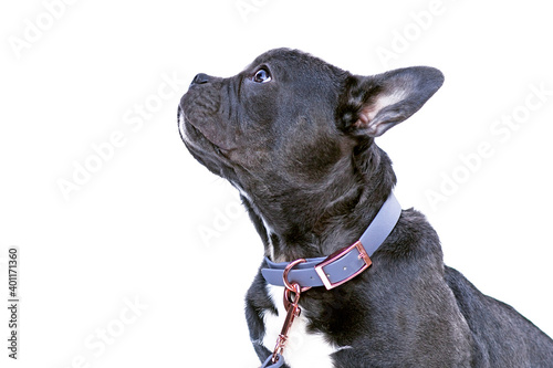 Fototapeta Side view of French Bulldog dog with long healthy nose wearing blue synthetic leather collar on white bacground obraz