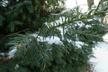 Dark Green Foliage Of Yew Covered With Snow In December