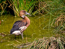 Fulvous Whistling Duck Or Fulvous Tree Ducks (Dendrocygna Bicolor) Standing In Water Among Plants