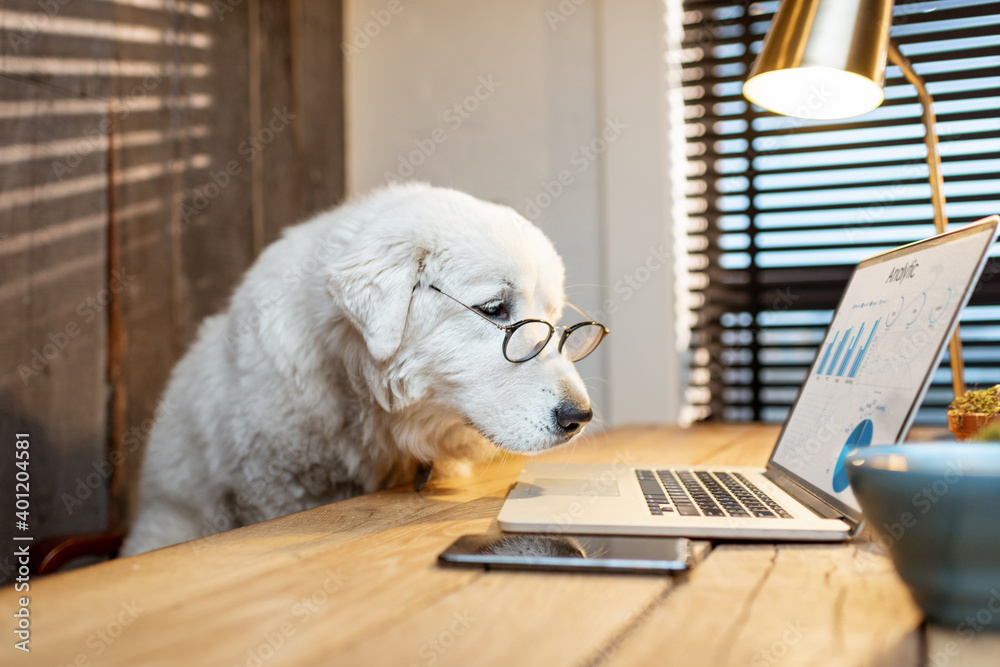 Fototapeta Portrait of a cute white dog in eyeglasses working on a laptop at the office