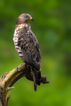 Buzzard Sitting On A Branch And Looking For Prey