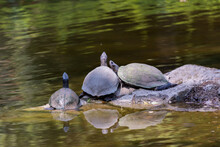 Four Turtles Looking Up And Resting On Rock At In The Pond Of The Nehru Zoological Park - Hyderabad, India